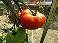 -2019-07-29 Ripening fruit on variety 'Sub Arctic Plenty' Tomato Plants, Trimingham.JPG