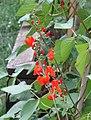 -2020-06-30 Runner beans in flower (Phaseolus coccineus), Trimingham, Norfolk (2).JPG