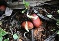 ..نبات الفول في مدينة الخليل.jpg