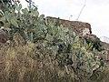 030 Turó de la Rovira, figueres de moro sota les bateries antiaèries.jpg