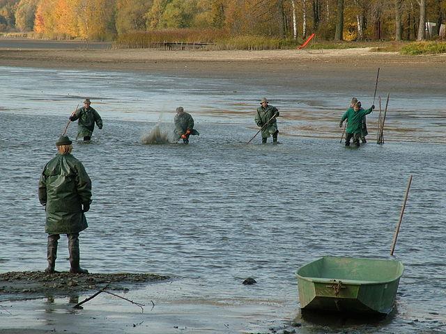Výlov rýb na rybníku