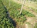 0581jfLandscapes Roads Vegetables Fields Binagbag Angat Bulacanfvf 05.JPG