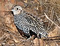 072 - MONTEZUMA QUAIL (12-12-2016) imm male, patagonia mountains, santa cruz co, az -02 (31370943090).jpg
