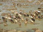 09489jfRoads Rice Domesticated ducks Paligui Candaba Pampangafvf 23.JPG