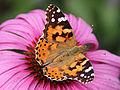 0 Belle-dame (Vanessa cardui) - Echinacea purpurea - Havré (3).jpg