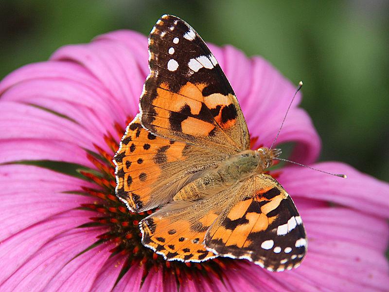 https://upload.wikimedia.org/wikipedia/commons/thumb/c/c8/0_Belle-dame_%28Vanessa_cardui%29_-_Echinacea_purpurea_-_Havr%C3%A9_%283%29.jpg/800px-0_Belle-dame_%28Vanessa_cardui%29_-_Echinacea_purpurea_-_Havr%C3%A9_%283%29.jpg
