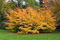 0 Parrotia persica - Parc de Mariemont (1).JPG