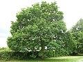 1. English Oak (Quercus robur) (3607652442).jpg