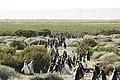 150 - Cap Virgenes - Manchot de Magellan - Janvier 2010.JPG
