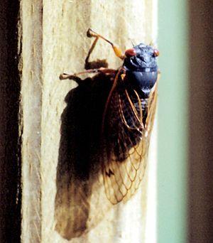 Brood X - Brood X cicada (2004)