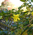 2006-11-16Jasminum nudiflorum05.jpg