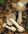 2007-06-17 Amanita vaginata crop.jpg
