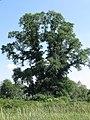 2012 The Elm Tree from Căpeni (Köpec) RO.jpg