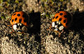 2013-07-24 15-46-40-Coccinellidae.JPG