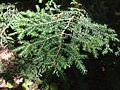 2013-08-25 15 39 09 Closeup of Eastern Hemlock foliage across Taborton Road from the entrance to Spring Lake in Berlin, New York.jpg