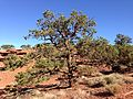 2013-09-23 16 14 14 Pinus edulis near Goosenecks Overlook in Capitol Reef National Park.JPG