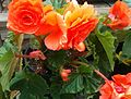 2014-07-17 11.16.58—Begonia hybrid (Orange) (14658158356).jpg