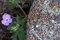 2015-365-172 Peeper Flower (19095497052).jpg