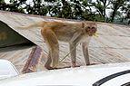 20160802 - Rhesus macaque - Mount Popa, Myanmar - 7170.jpg