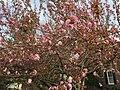 2017-04-10 17 37 25 Kanzan Japanese Cherry flowers starting to open along Kinross Circle near Ravenscraig Court in the Chantilly Highlands section of Oak Hill, Fairfax County, Virginia.jpg