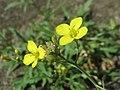 20170822Diplotaxis tenuifolia3.jpg