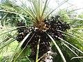2018-03-10 Fruit on a Palm oil tree, Albufeira (2).JPG