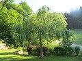 2018-05-13 (125) Salix × sepulcralis (weeping willow) at Bichlhäusl in Frankenfels, Austria.jpg