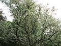 20180522Elaeagnus angustifolia4.jpg