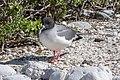20180807-Swallow-tailed gull at Genovesa (9493).jpg