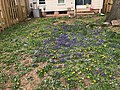 2019-04-11 12 32 29 A yard covered in violets and dandelions along Old Dairy Court in the Franklin Farm section of Oak Hill, Fairfax County, Virginia.jpg