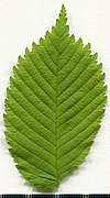 2020 year. Herbarium. Ulmus. img-003.jpg