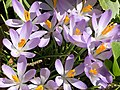 2021-03-07 12 24 36 Crocus tommasinianus blooming along Tranquility Court in the Franklin Farm section of Oak Hill, Fairfax County, Virginia.jpg