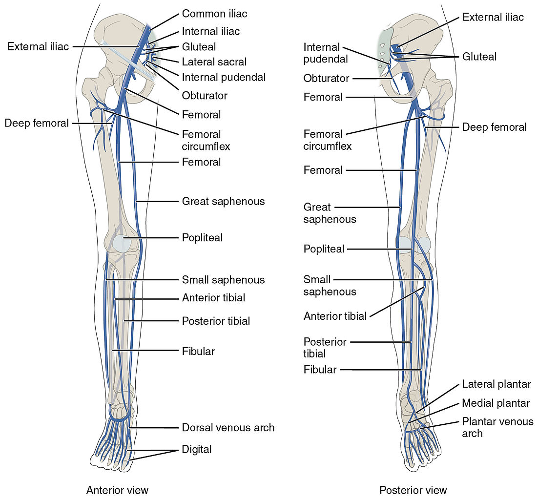 File2136ab Lower Limb Veins Anterior Posteriorg Wikimedia Commons