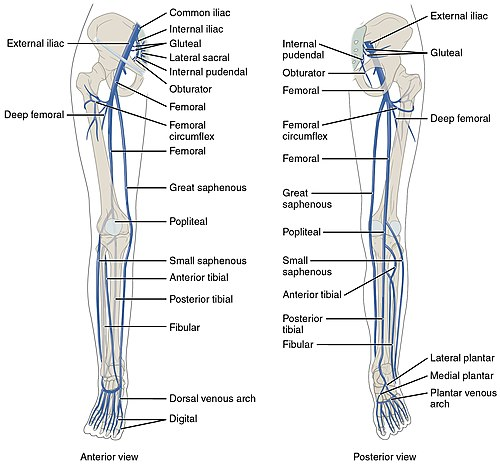 2136ab Lower Limb Veins Anterior Posterior.jpg
