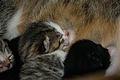 5-day-old kittens 04.jpg