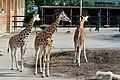 50 Jahre Knie's Kinderzoo Rapperswil - Giraffa camelopardalis 2012-10-03 14-36-20.JPG