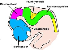 Very simple drawing of the front end of a human embryo, showing each vesicle of the developing brain in a different color.
