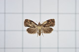 <i>Gatesclarkeana idia</i> species of insect