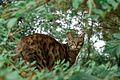 A Bengal Cat.jpg