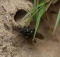 A Digger Wasp (Mellinus arvensis) dragging fly back to nest - Flickr - S. Rae.jpg