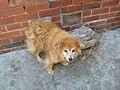 A Pomer cross dog.jpg