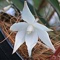 A and B Larsen orchids - Aerangis biloba 4541x.jpg