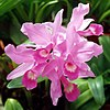 A and B Larsen orchids - Cattleya skinneri 431-6a.jpg