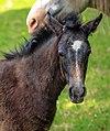 A day trip from Ushuaia into Parque Nacional Tierra del Fuego - young rambuncshous horse - (24561210273).jpg