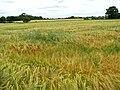 A field of ripening barley - geograph.org.uk - 1362315.jpg