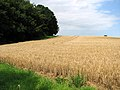 A field of ripening barley - geograph.org.uk - 1433461.jpg