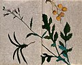A flowering plant stem,, a bunch of yellow fruit and a Wellcome V0043754.jpg