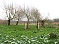 A group of pollarded willows - geograph.org.uk - 1632586.jpg