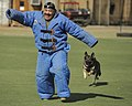 A military working dog trains. (11000115546).jpg