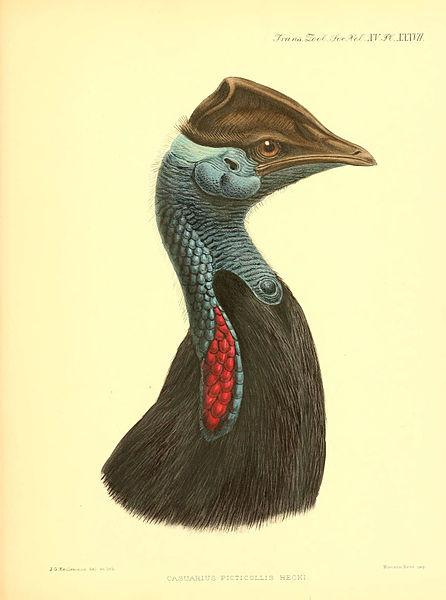 File:A monograph of the genus Casuarius (Pl. XXXVII) (6097431336).jpg